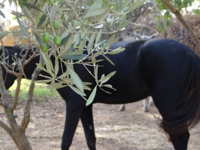 Olives and horse