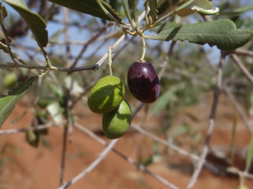 Olive oil production in Morocco: so many questions