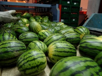 watermelon selection